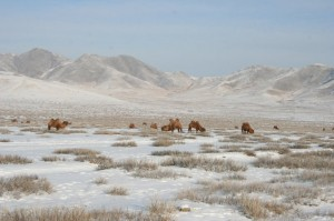 Grazing camels to the north of Darkhan.