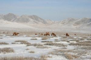 Weidende Kamele nördlich von Darkhan