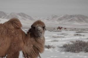 Diese Kamele sind gar nicht ängstlich