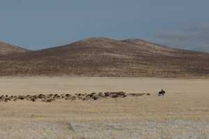 Goat herd with herdsman - a typical picture in Mongolia.