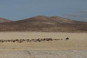 Ziegenherde mit Hirte - ein typisches Bild der Mongolei